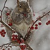 Squirrel with Crabapples