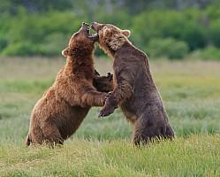 Kodiak Dance