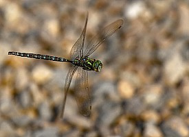Seagull Lake Dragonfly