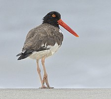American Oystercatcher in the Rain