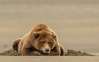 Resting Grizzly
