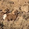 Rutting Bighorn Rams