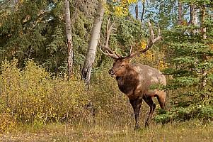 Rutting Bull