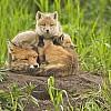 3 Foxes - 2 Sleeping