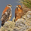 Red-Backed Hawk Pair