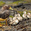 Steamer Duck Family