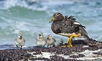 Steamer Duck & 4 Chicks