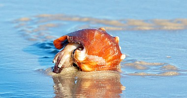 Conch Crawl