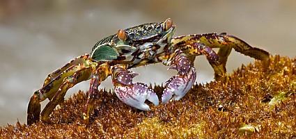 Patong Bay Crab