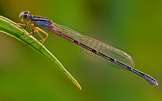 Backlit Damselfly