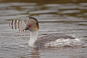 Silver Grebe with Feather