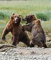 Kodiak Bear Fight