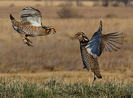 Prairie Chickens Jousting