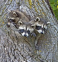 Racoons 3