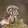 Boreal Owl on the Hunt