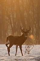 Foggy Buck