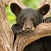 Black Bear Cub Portrait