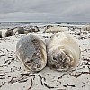 Elephant Seal Pups on Beach