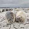 Elephant Seal Pups on Beach