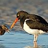 Magellanic Oystercatcher Feeding Chick