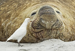 Sheathbill Feeding on Elephant Seal