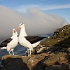 Two Albatross Along Coast