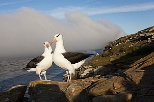 Two Albatross Along Coast