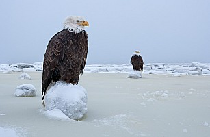 Two Eagles on Sea Ice