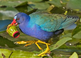 Purple Gallinule with Lunch