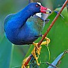 Purple Gallinule's Snack (W)