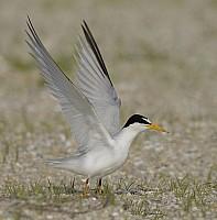 Least Tern Take-Off (W)