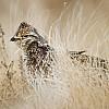 Grassland Grouse