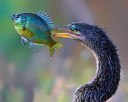 Anhinga Displaying it's Catch