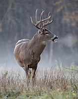 Buck Breath