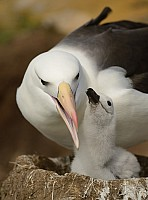 Caring Albatross Parent