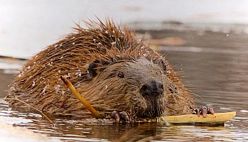 Beaver with Lunch