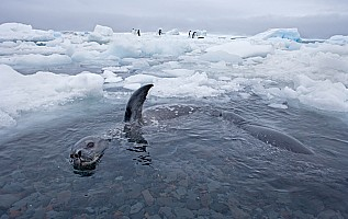 Weddell Seals in Habitat
