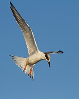 Royal Tern Hovering
