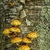 Honey Mushrooms on Birch