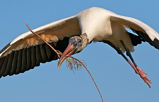 Wood Stork on a Mission
