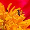 Bee on Peony