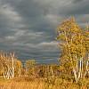 October Birches