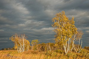 October Birches
