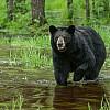 Swamp Bear