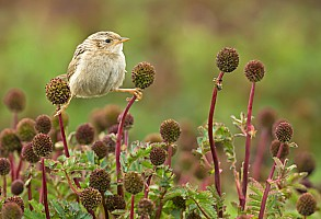 Grass Wren on Prickly Burr
