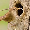 House Wren Nest Building