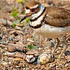Killdeer with Nestlings