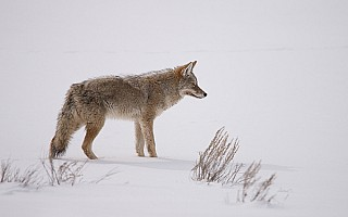 Coyote in the Snow – Yellowstone