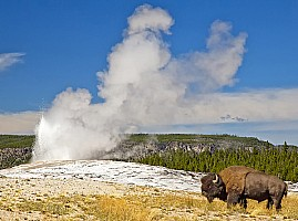 Bison by Old Faithful