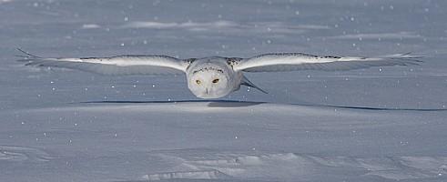 Snowy Owl on Prowl